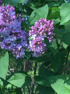 Original Murdick's Fudge Purple Lilac