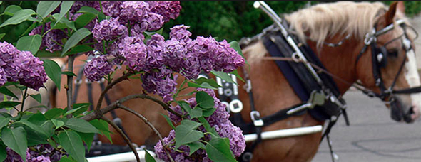 Lilacs bloom in every shade of purple and pink imaginable just in time for the Lilac Festival