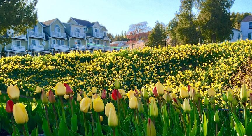 Original Murdick's Fudge Mission Point Tulips