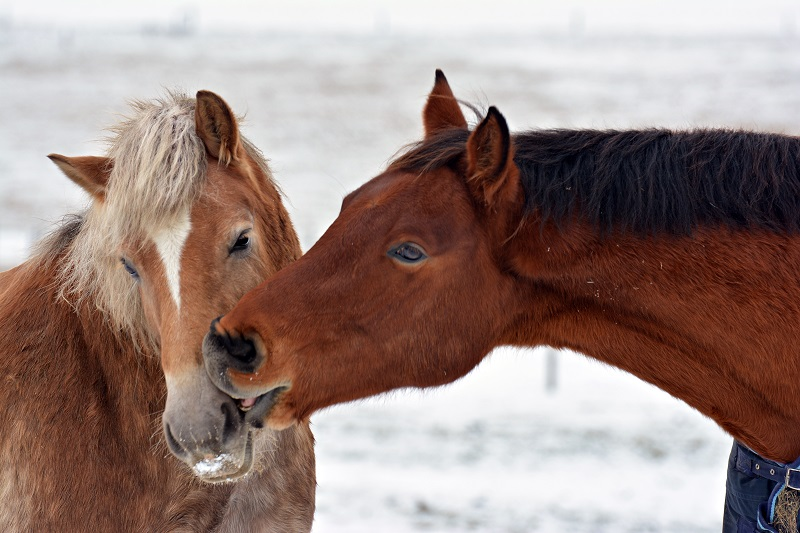 Original Murdicks Fudge Valentines Day horses